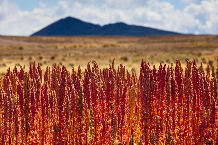 quinoa � a �superfood� for all � food security and food