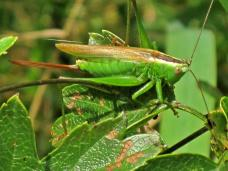 Conocephalus_discolor_(Long-winged_Meadow_Katydid)_female,_Arnhem,_the_Netherlands[2]
