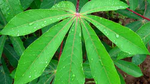 cassava-leaves 3