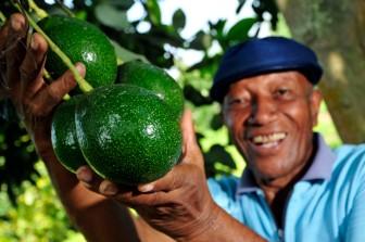 Avocado farmer