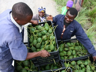 African avocado farmers