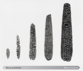 Selective breeding of maize. Photo Credit: Robert S. Peabody Museum of Archaeology, Phillips Academy, Andover, Massachusetts.