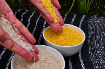 golden rice gmo